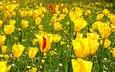 flowers, grass, yellow, photo, field, spring, tulips