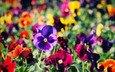 цветы, фон, лето, анютины глазки