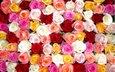 cvety, rozy