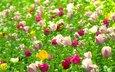 полюс, cvety, vesna, tyulpany, rasteniya, priroda