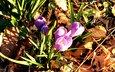 cvety, vesna, listya, podsnezhnik