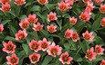 tyulpany, rozovye, plantaciya