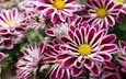 cvety, fioletovye, s zheltym