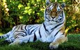 тигр, трава, природа, кошка, лежит, хищник