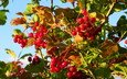 leaves, branches, berry, red, autumn, kalina