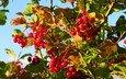 листья, ветки, ягода, красная, осень, калина