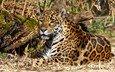 природа, хищник, ягуар, дикая кошка