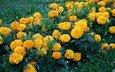 бархатцы, цветы., желтые цветы