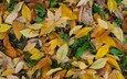 желтый, зелёный, осень, листик, жёлтая, autumn (лист, грин