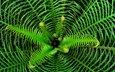 зелень, листья, растение, папоротник