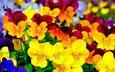 цветы, лепестки, цветные, анютины глазки
