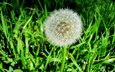 трава, природа, зелень, цветок, одуванчик