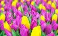 цветы, весна, тюльпаны, желтые, сиреневые