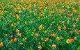 цветы, природа, луг
