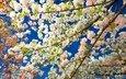 цветение, весна, сакура