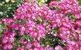 цветы, цветение, розы, лепестки, розовые, куст