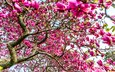 flowers, tree, branches, magnolia