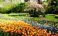 flowers, grass, trees, park, track, the bushes, tulips, daffodils, benches, netherlands, hyacinths, flowering tree, keukenhof