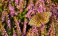 macro, insect, butterfly, heather, fritillary aglaia