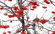 природа, зима, ветки, ягоды, рябина
