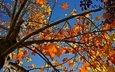 небо, природа, дерево, листья, ветви, осень, жёлтая, желтые, неба, опадают, на природе, осен, листья, дерево