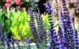 flowers, lavender, garden, blue