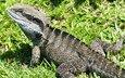 трава, ящерица, австралия, пресмыкающееся, австралийская ящерица, брисбене