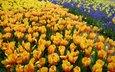 тюльпаны, много, желтые, оранжевые