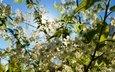 цветы, макро, вишня, белые, соцветия, боке