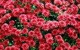 цветы, красные, куст, хризантемы