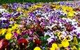 цветы, анютины глазки, colour