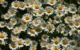 flowers, chamomile, a lot