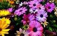 цветы, природа, красочные, розовые, желтые, герберы
