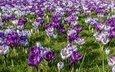 цветы, весна, крокусы, шафран