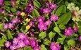 цветы, лепестки, весна, первоцвет, примула