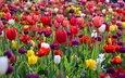 flowers, spring, tulips