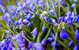 цветы, весна, синие, подснежники, пролеска