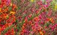 цветы, природа, растения, фон, ракитник