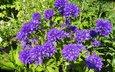 цветы, зелень, сад, синие