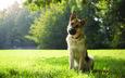 трава, парк, собака, немецкая овчарка, овчарка