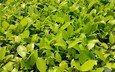 природа, листья, зелёный, лист, растение, кустарник