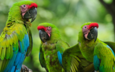 birds, beak, parrot, ara, parrots, tail