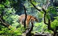 tiger, face, nature, forest, look, predator, wild cat