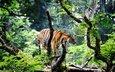 тигр, морда, природа, лес, взгляд, хищник, дикая кошка