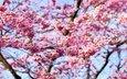 небо, цветы, природа, цветение, ветки, весна, вишня, сакура