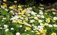 клевер, ромашки, полевые цветы, лютики