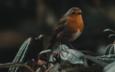 природа, листья, птица, клюв, зарянка, малиновка