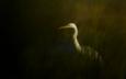 природа, птица, клюв, цапля, белая цапля