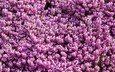 цветы, природа, цветение, сад, весна, розовые, кустарник