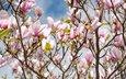 цветы, цветение, ветки, весна, магнолия